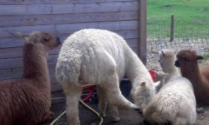 le lama veille